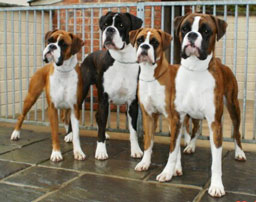 Newlaithe Boxers KC Accredited Breeders - Boxer Stud Dogs